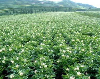 甘肃兰州百合种植基地