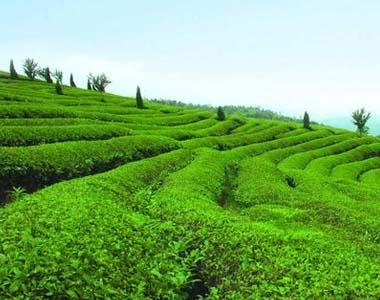 甘肃康县两河茶叶种植基地